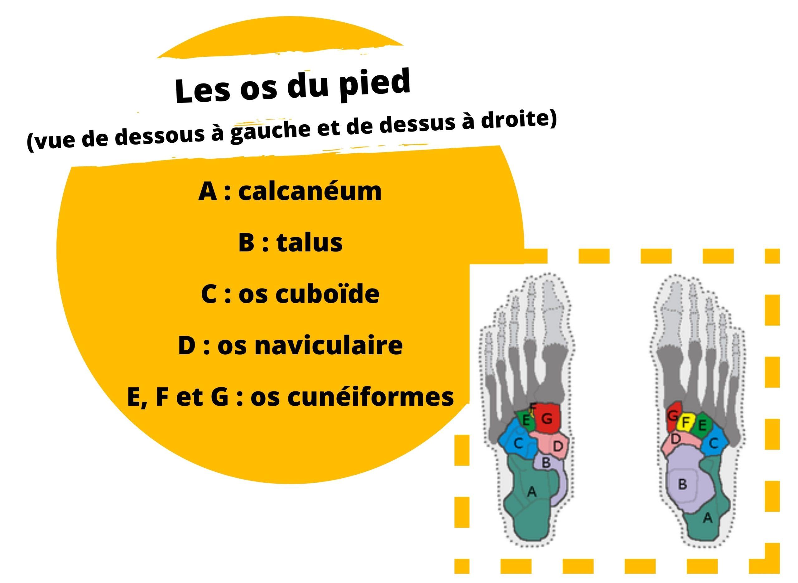 Les os du pied (vue de dessous à gauche et de dessus à droite)