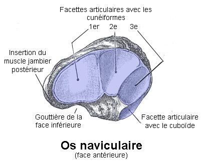 l'os naviculaire de la patholoie de Köhler-Mouchet